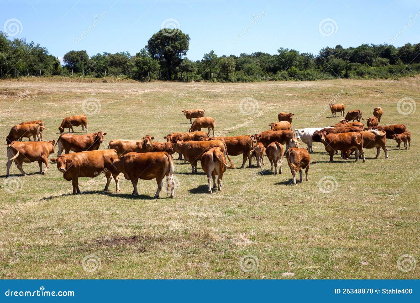 Cattle Grazing Stock Photo - Image: 26348870
