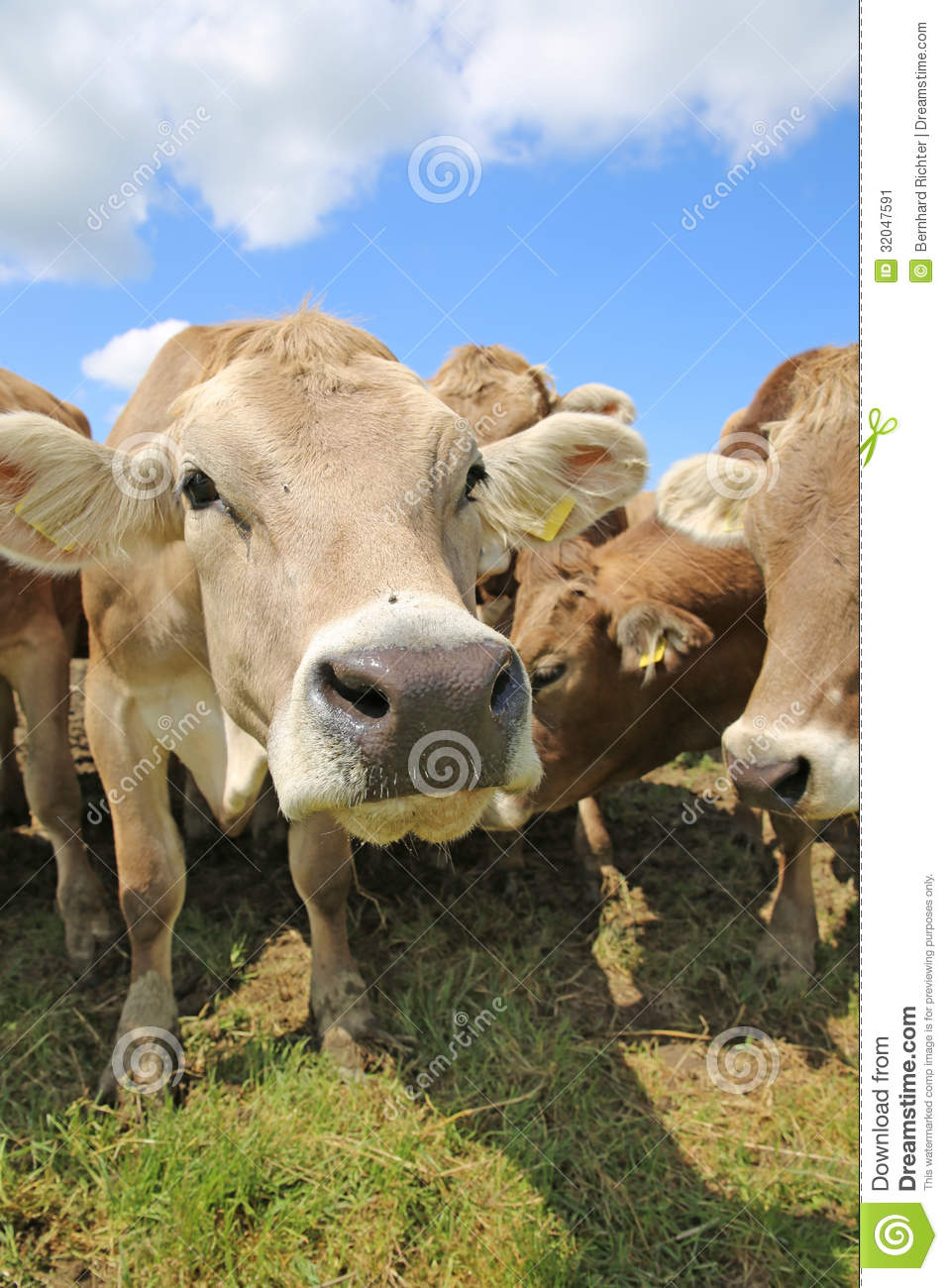 Guide to Backyard Cattle Raising and Fattening