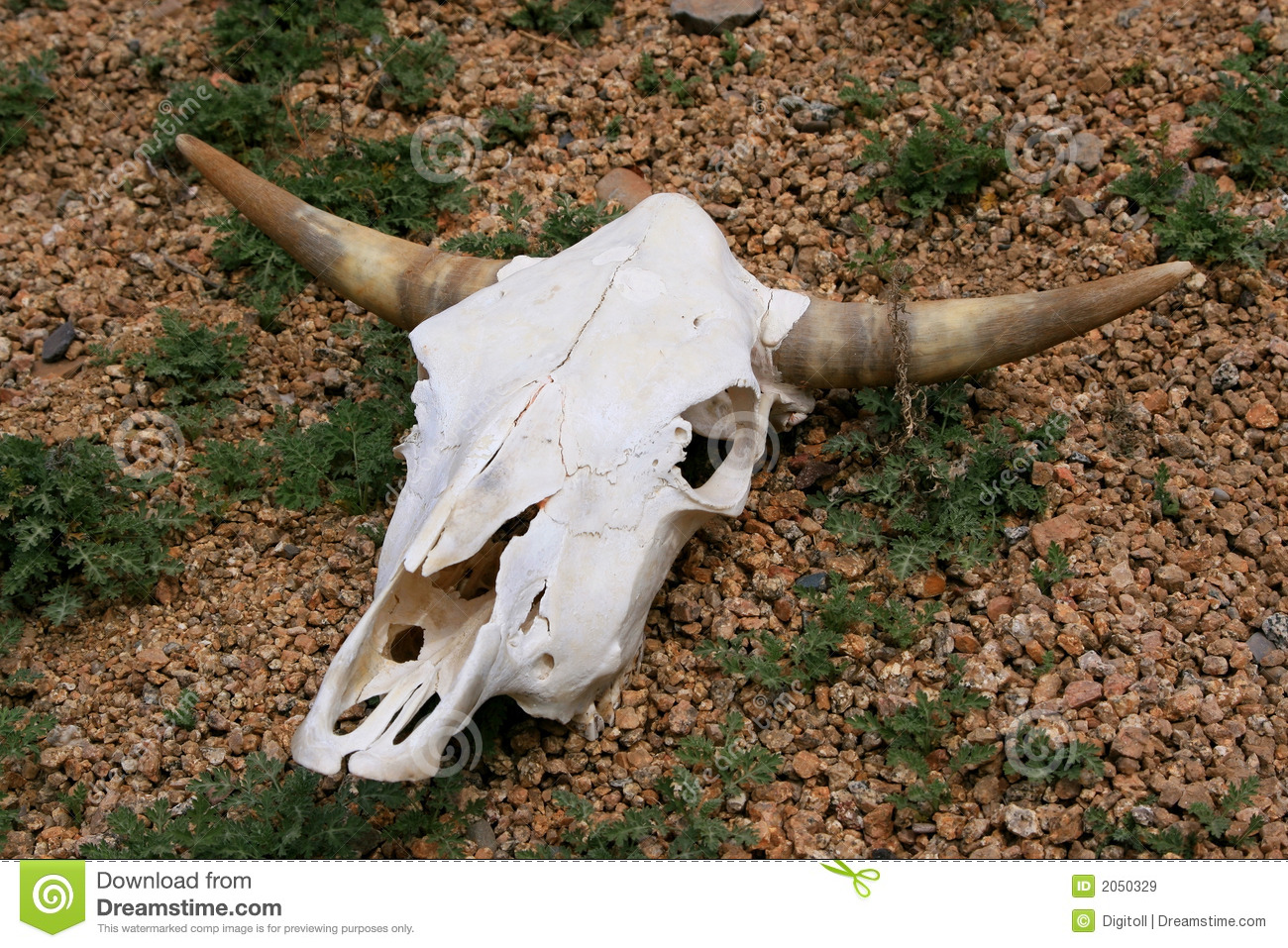 Cattle Skull Stock Image  Image Of Animal  Cattle  Bull