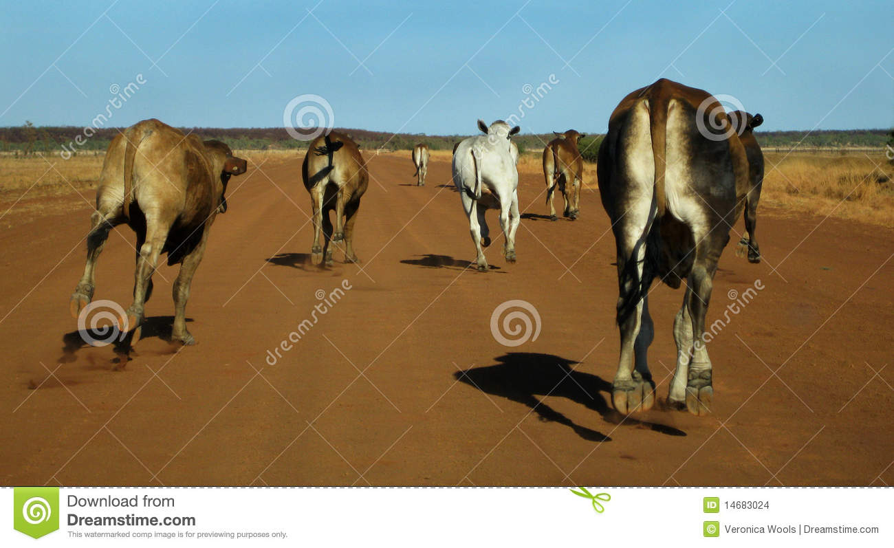 Cattle Stampede Stock Photo Image Of Beef Australian