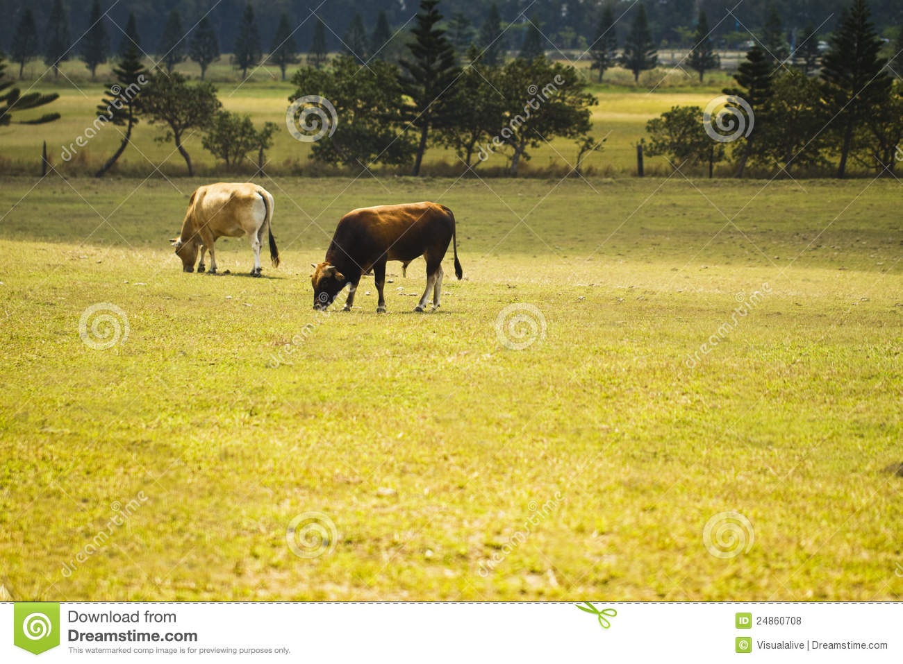 Cattle In Yards Royalty Free Stock Photos - Image: 24860708