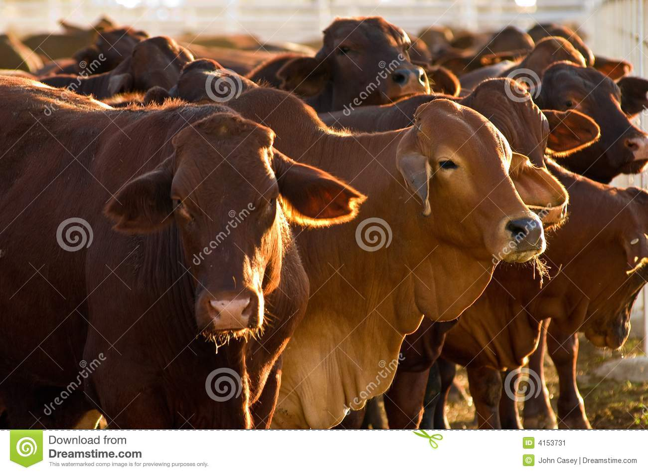 Cattle In Yards Stock Image - Image: 4153731