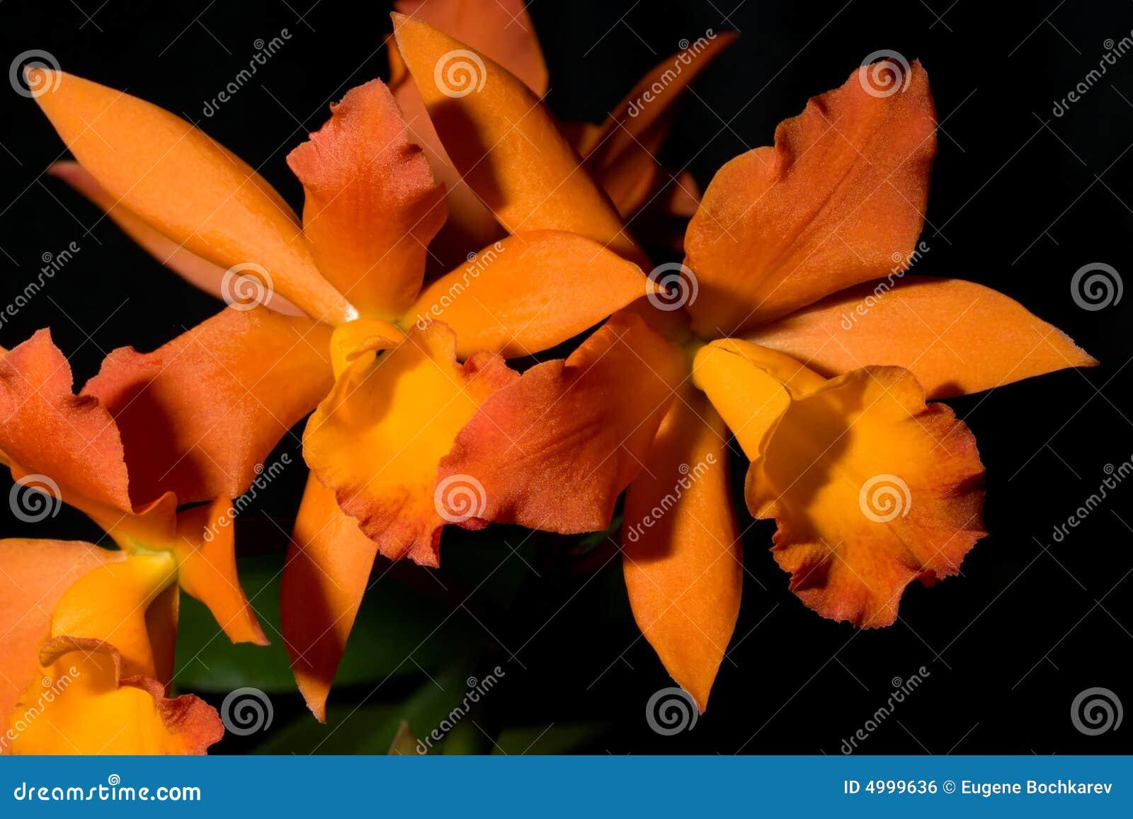 Cattleya цветет sp орхидей