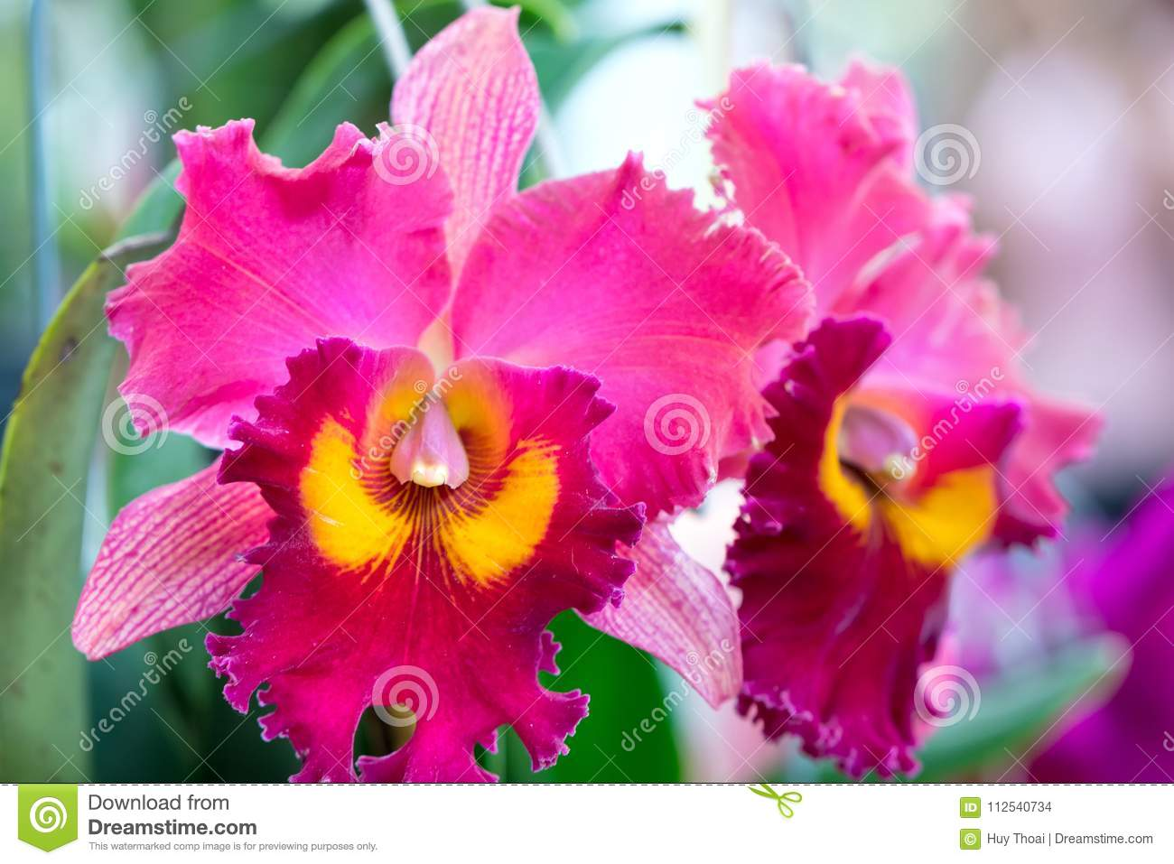 Cattleya Flowers Bloom In Spring Adorn The Beauty Of Nature Stock ...