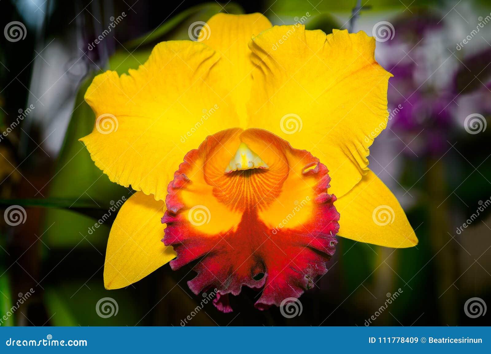 Cattleya Jomthong Delight Orchid