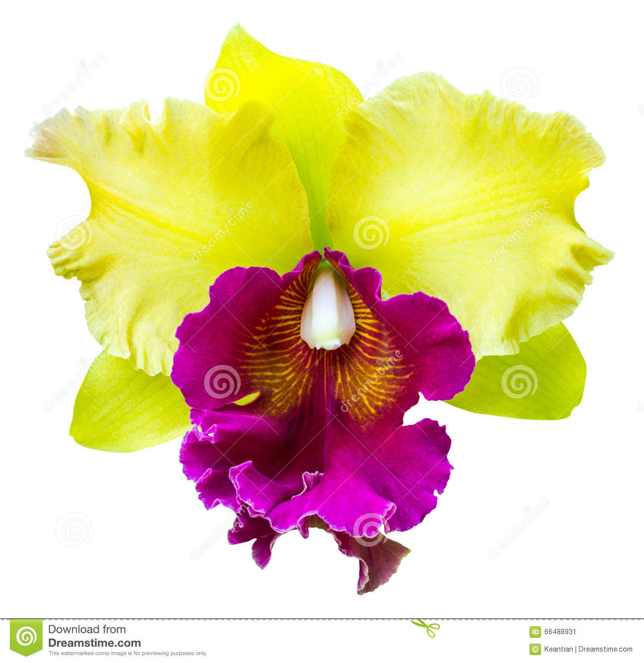 Cattleya Orchid Purple And Yellow Stock Image Image Of Freshness