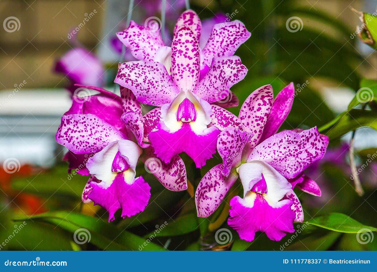 Cattleya Pink Jaguar - Orchid Hybrid.
