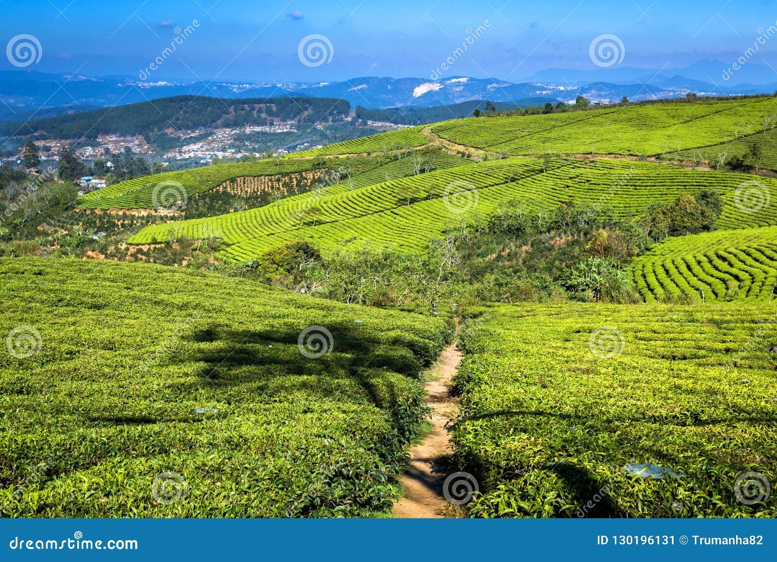 Cau Dat Green Tea Hills Farm im Sonnenschein