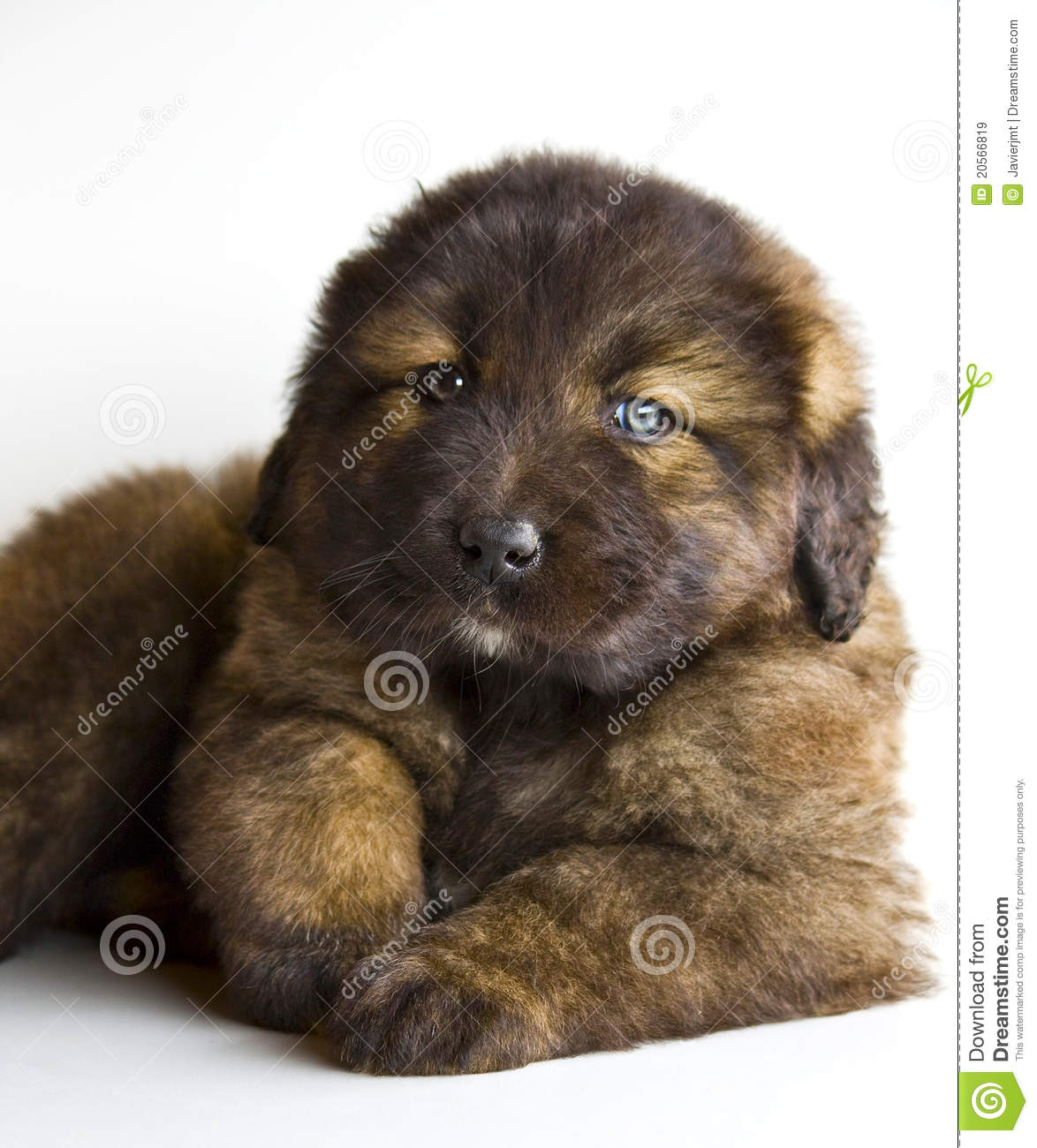 Caucasian Mastiff Puppy Stock Image Image Of Lying