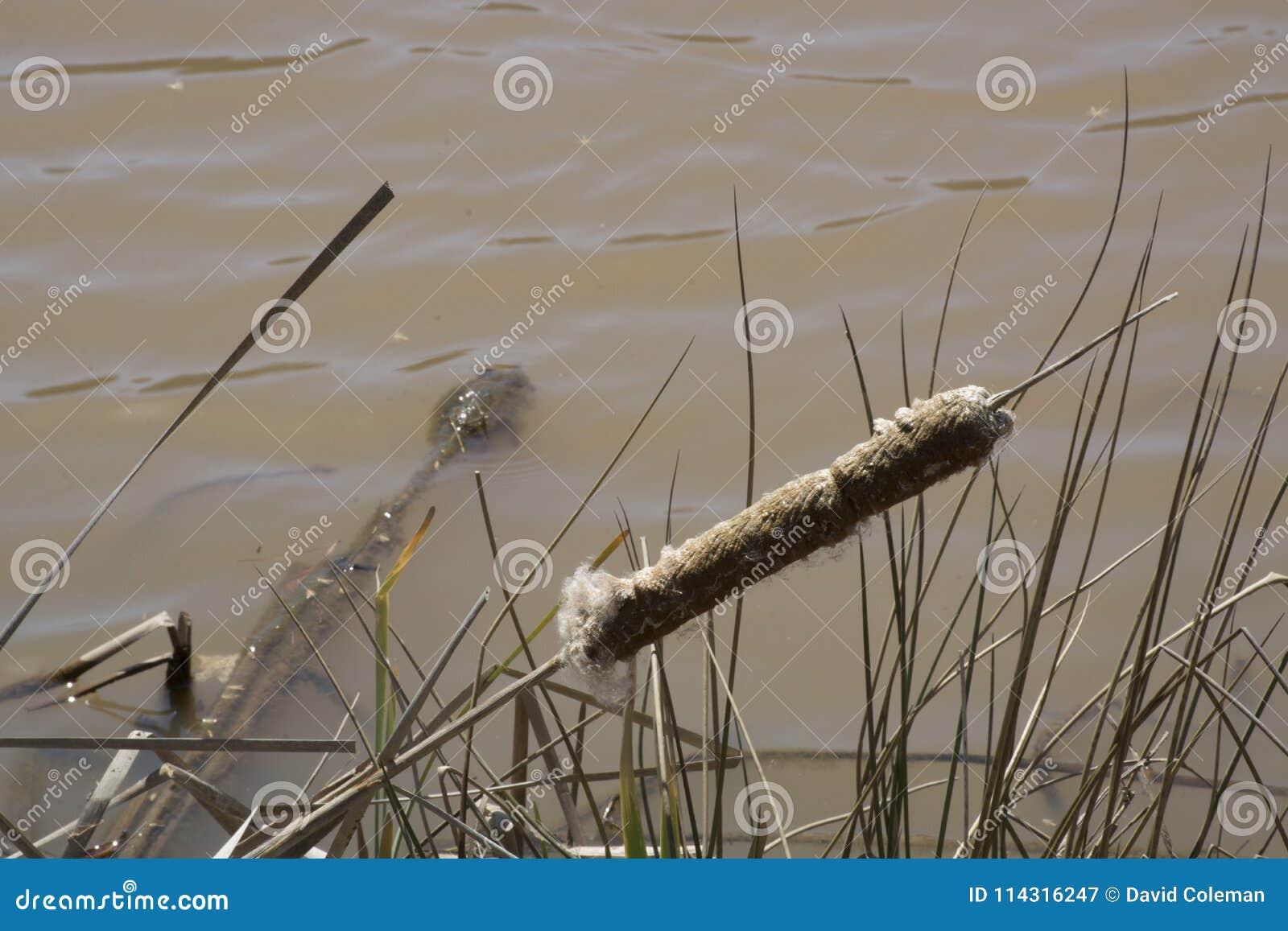 Cauda de gato velha na borda do ` s da água