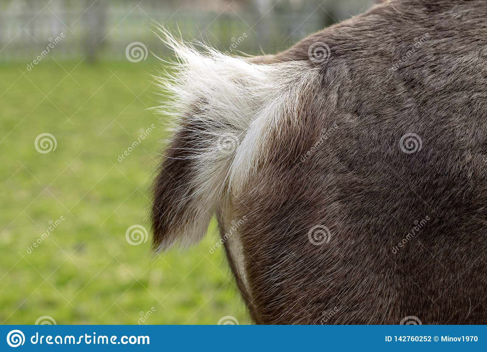 Cauda macia de um cervo, ideia lateral de uma parte traseira