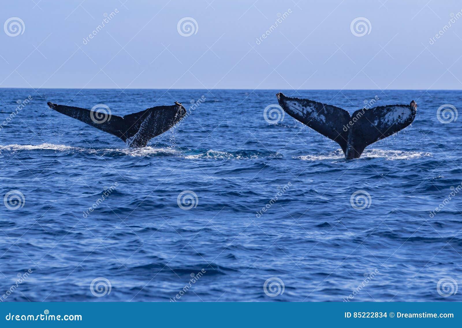Caudas da baleia