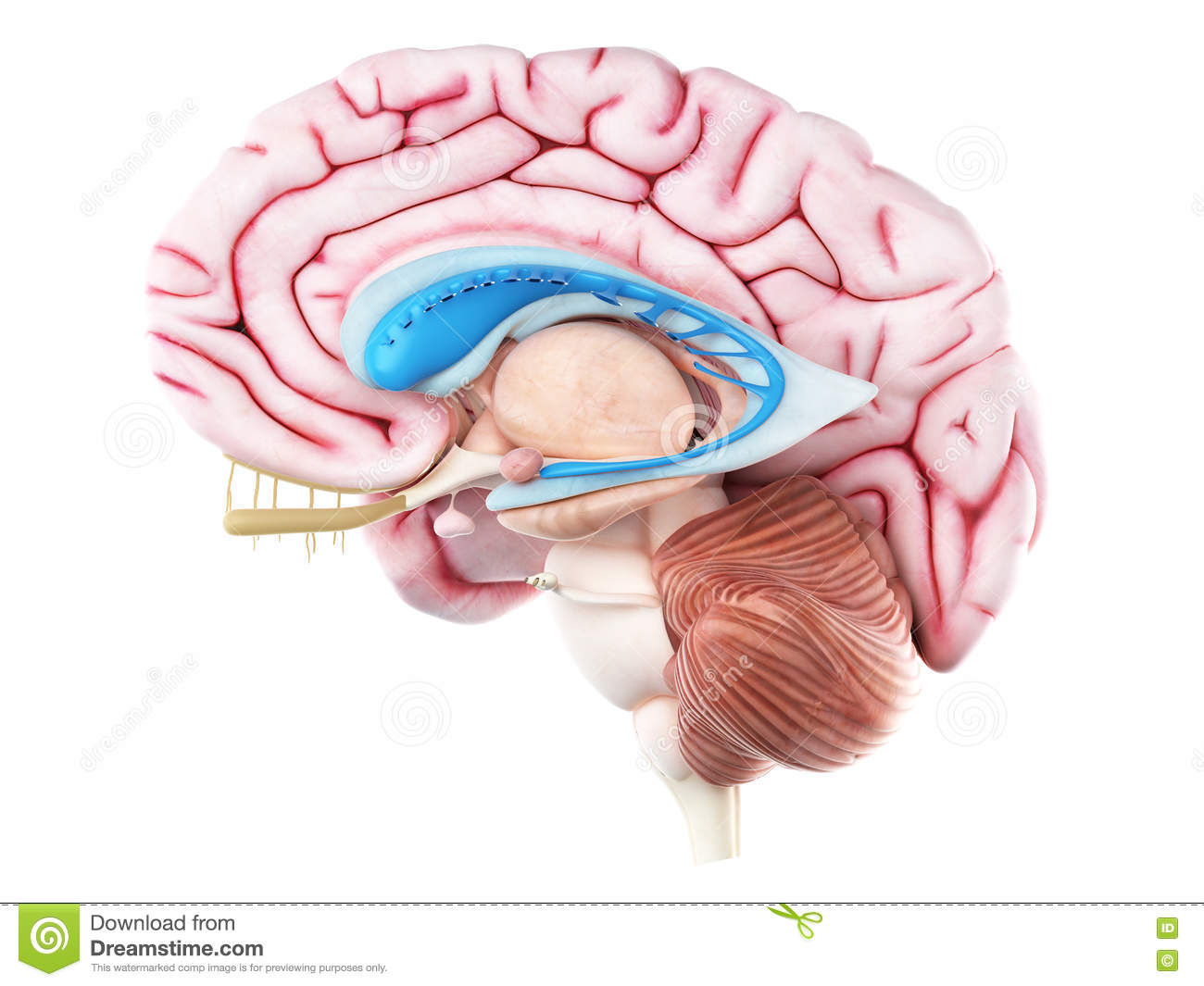 The caudate nucleus stock illustration. Illustration of anatomy ...