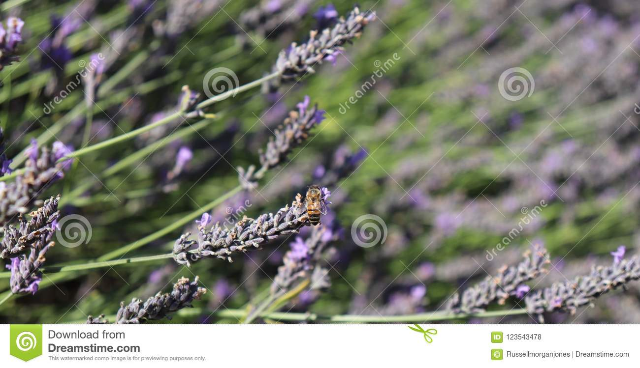 Bee resting on lavender plant