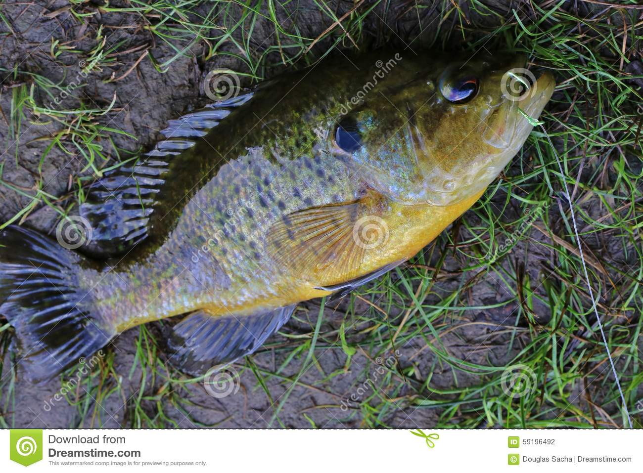 Caught Fish Out Of Water Stock Photo Image 59196492