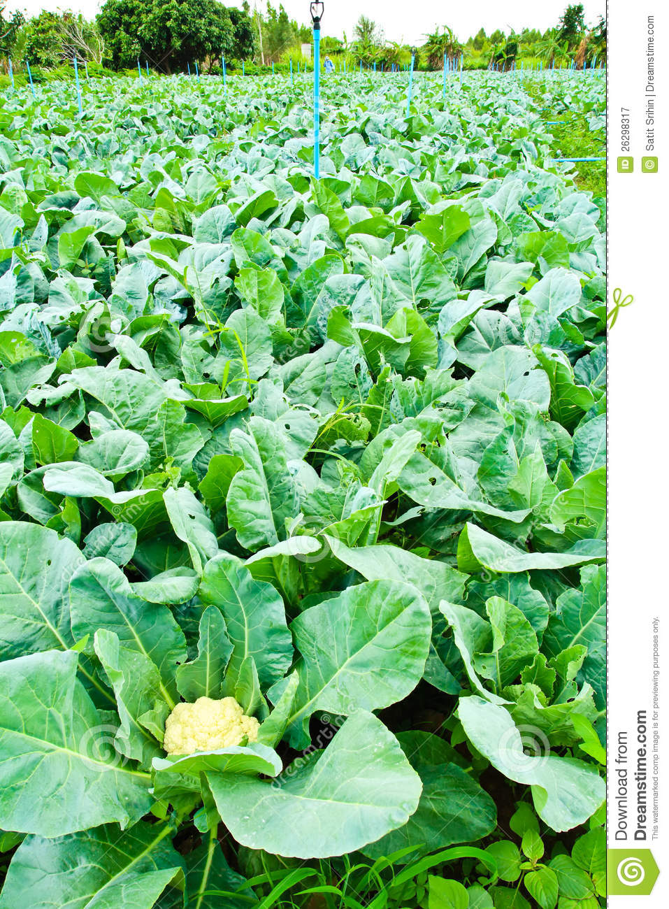Cauliflower Plant Royalty Free Stock Photography - Image ...