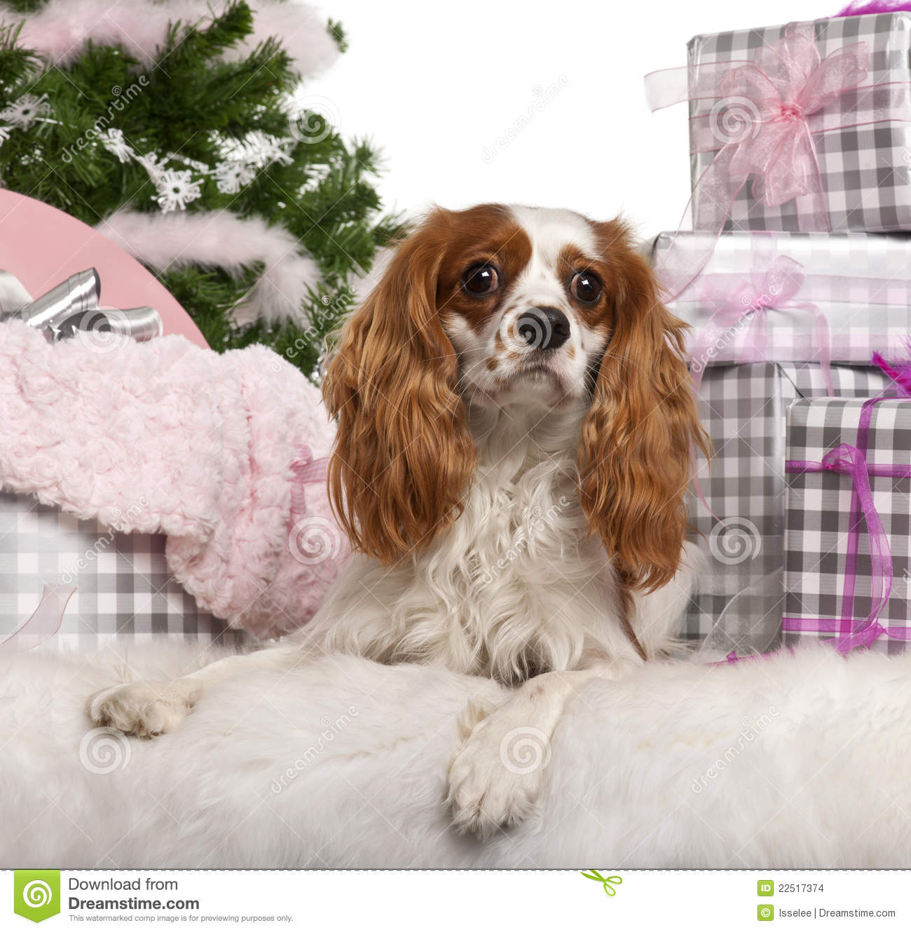 Cavalier King Charles Spaniel, 18 months old, lying with Christmas