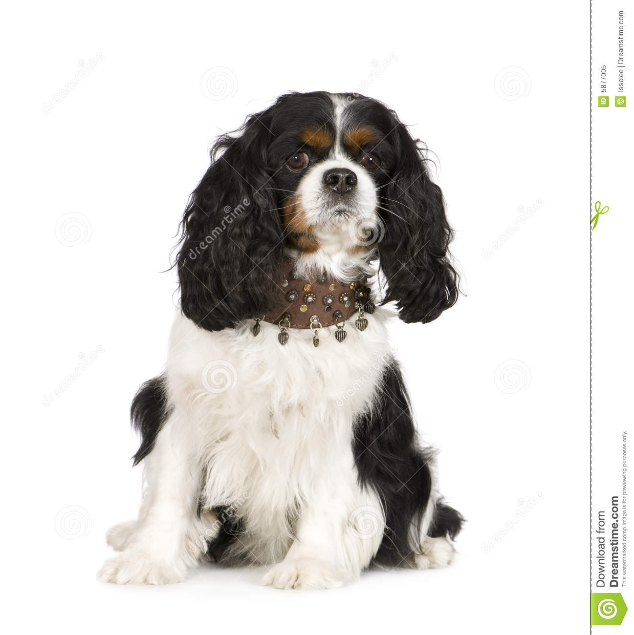 Cavalier king charles spaniel 6 years in front of a white background