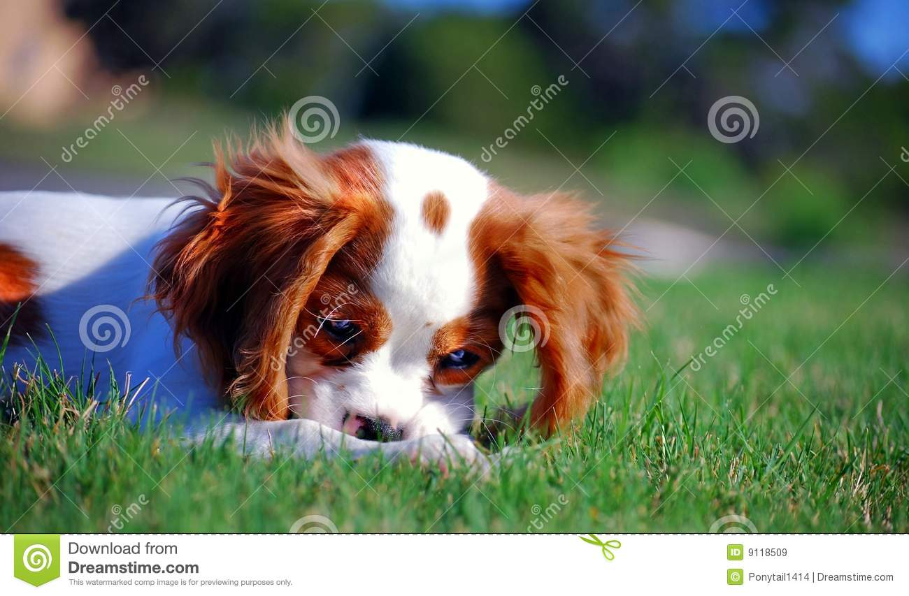 Royalty free stock images cavalier king charles spaniel puppy