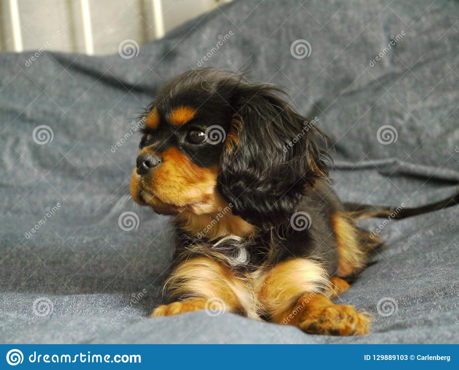 Cavalier King Charles Spaniel Puppy In Bed Stock Image Image Of Animal Background 129889103