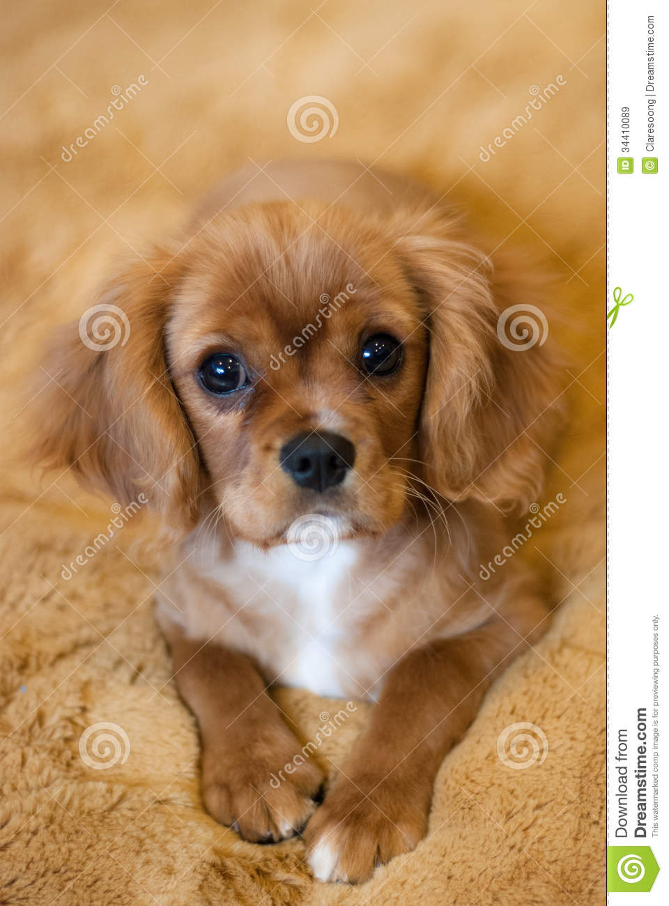 Cavalier King Charles Spaniel Puppy Stock Image Image Of Eyes Charles 34410089