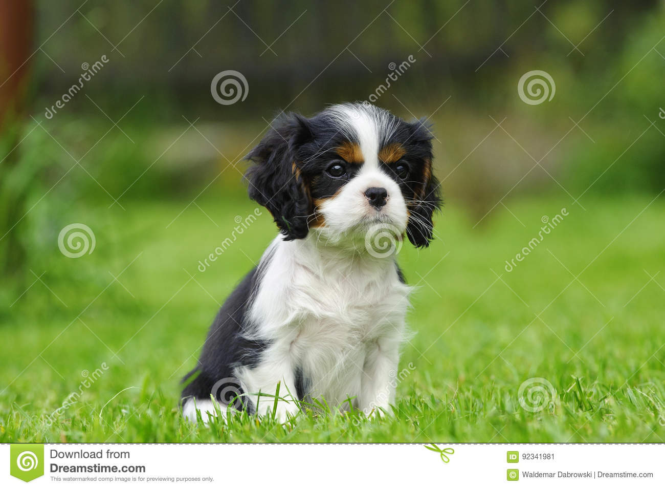 Cavalier King Charles Spaniel Puppy Stock Image Image Of Cavie Canine 92341981