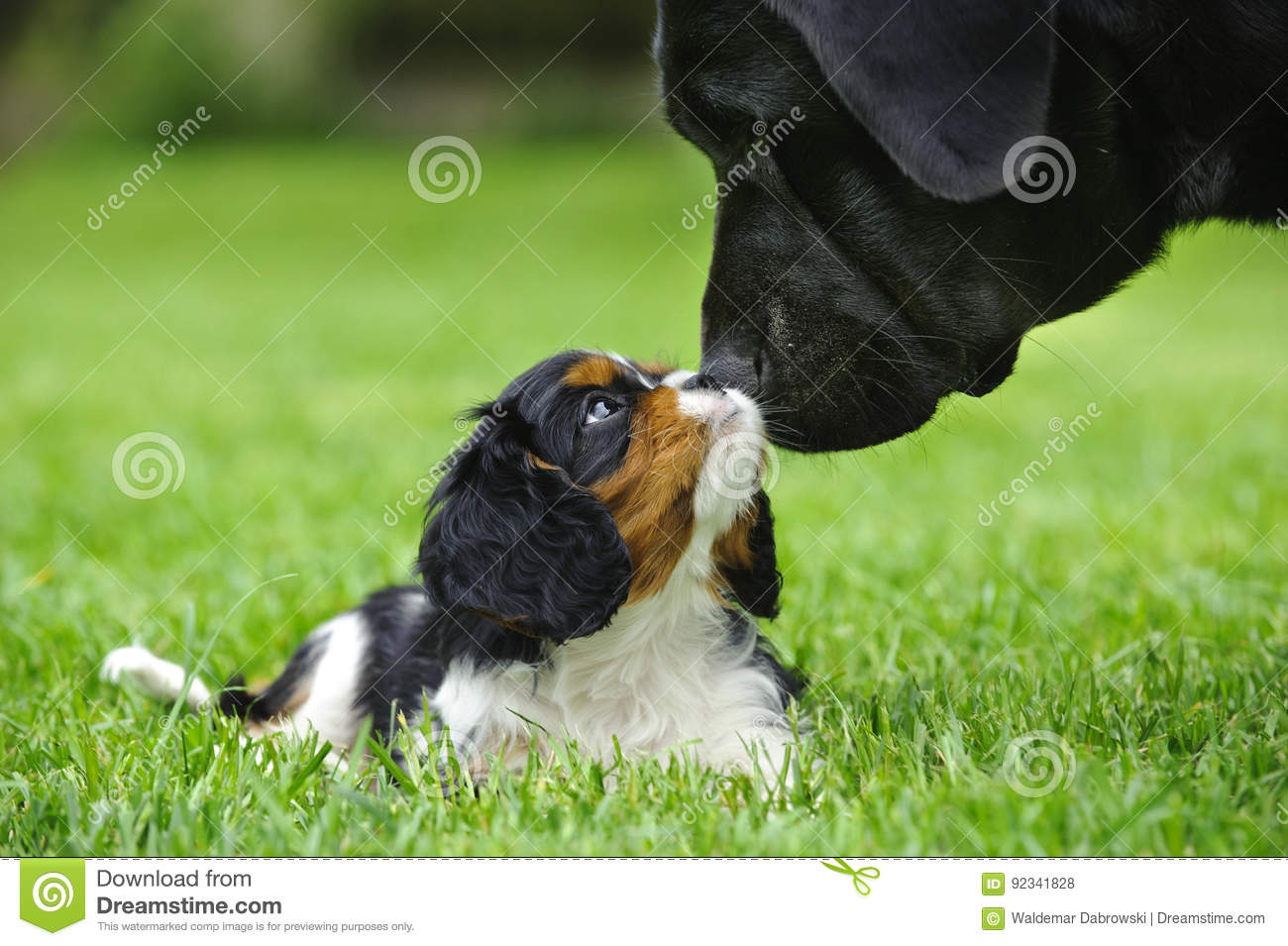 Cavalier King Charles Spaniel Puppy With Lab Stock Photo Image Of Friendship Happy 92341828