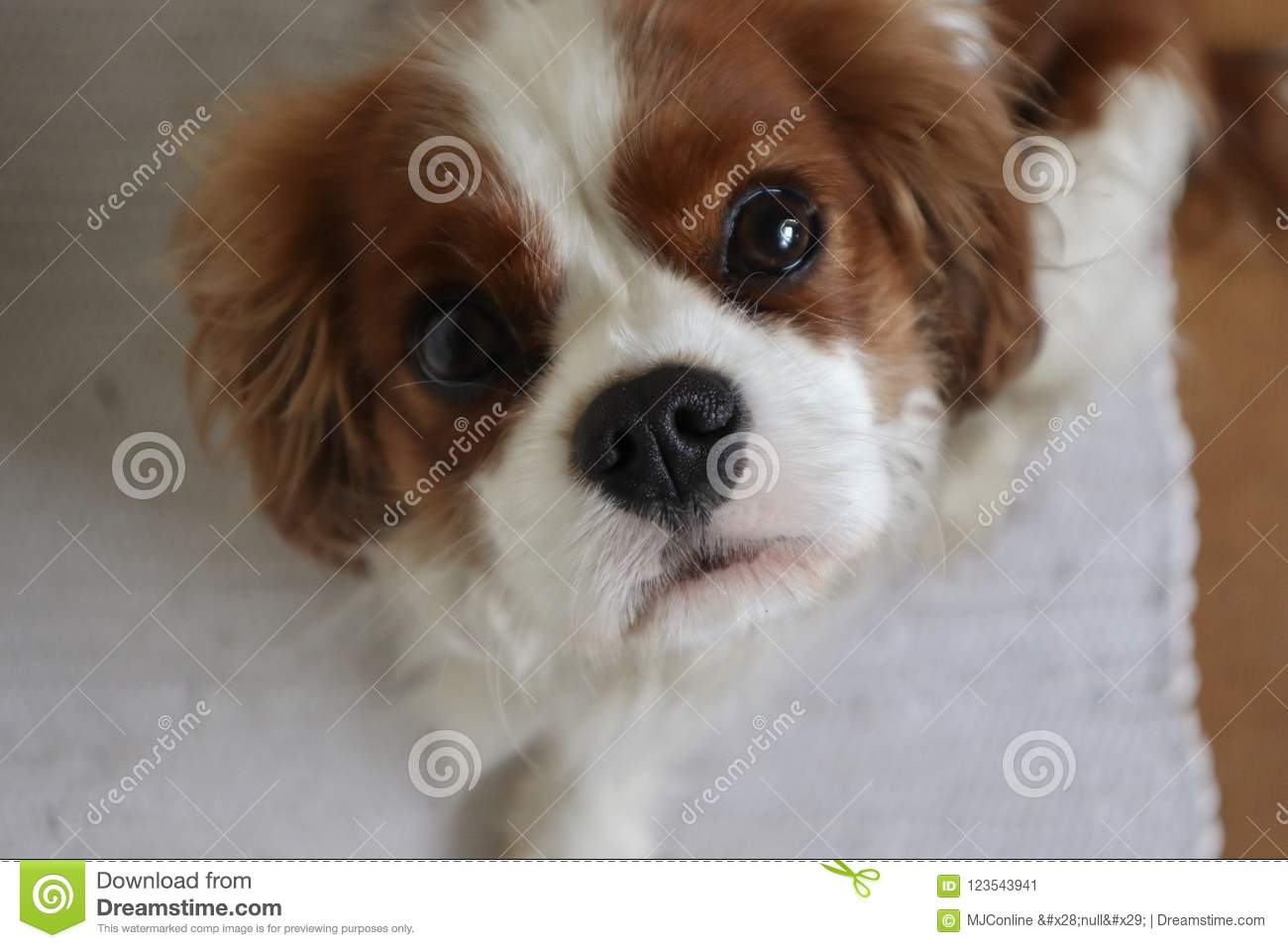 Cavalier King Charles Spaniel Puppy Looking Up Stock Image Image Of Spaniel Puppies 123543941