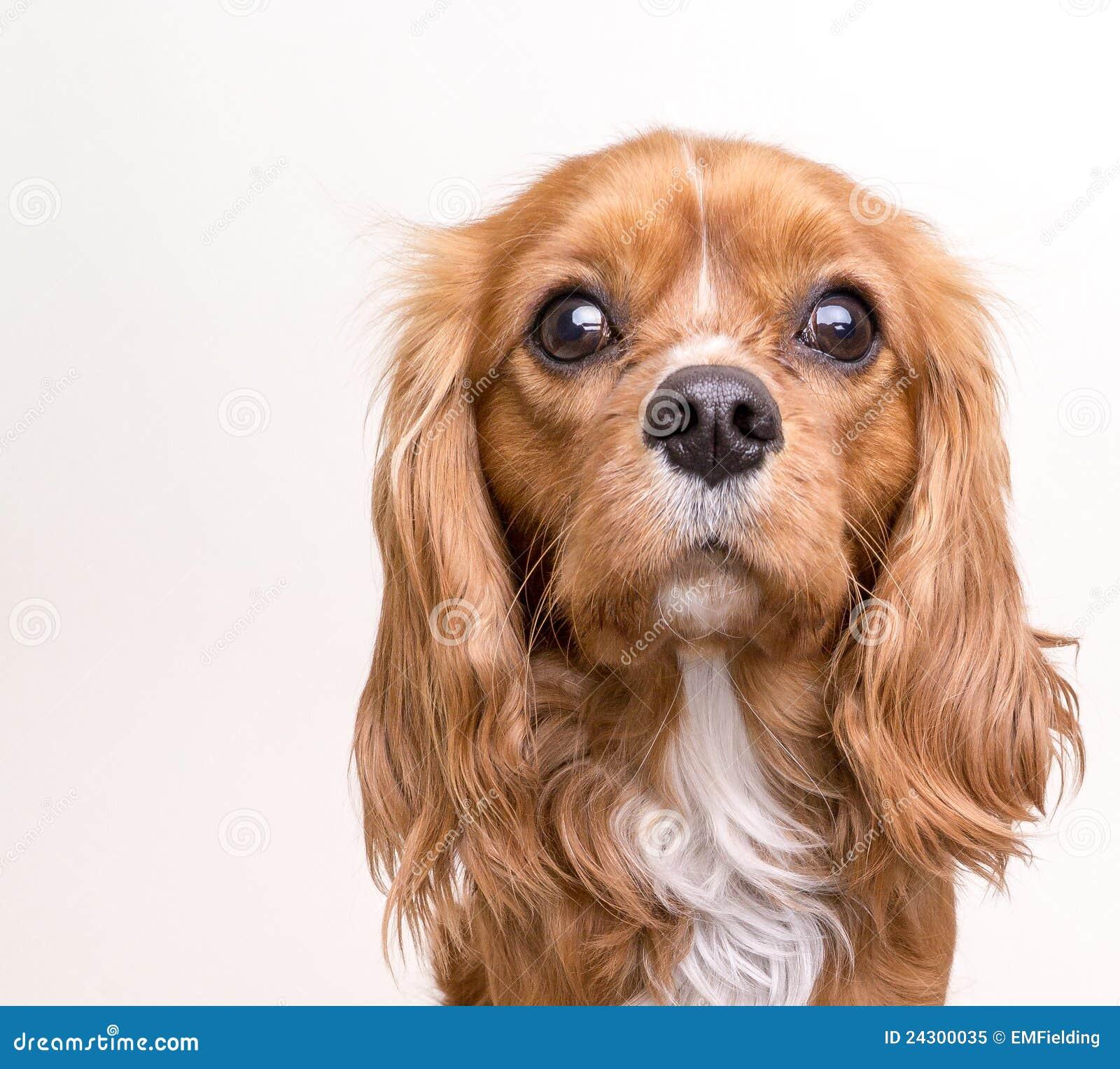 Spaniel Dog Nature