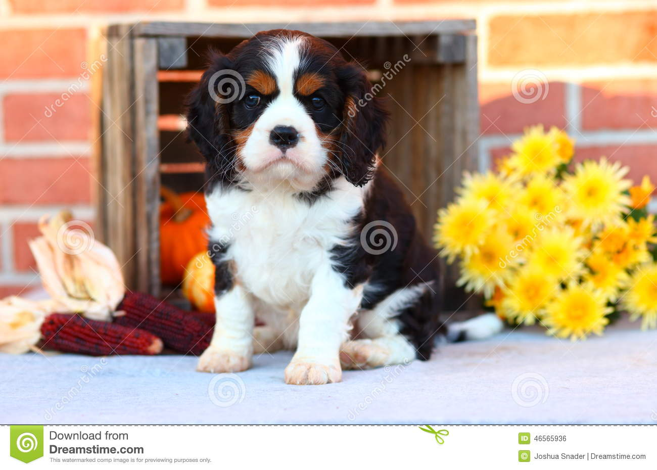 Cavalier King Charles Spaniel Puppy Sitting With Autumn Decorations In Front Of Brick Wall Stock Photo Image Of Black Cavalier 46565936