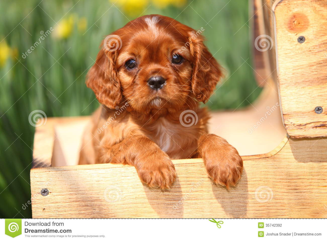 Cavalier King Charles Spaniel Puppy In Wooden Wagon Stock Photo Image Of Flowerbed Cavalier 35742392
