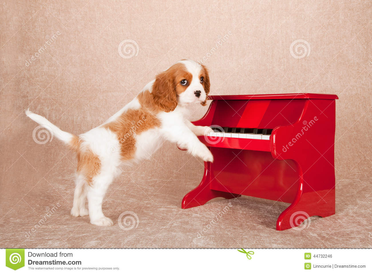 Stock photo cavalier king charles spaniel standing up against red toy