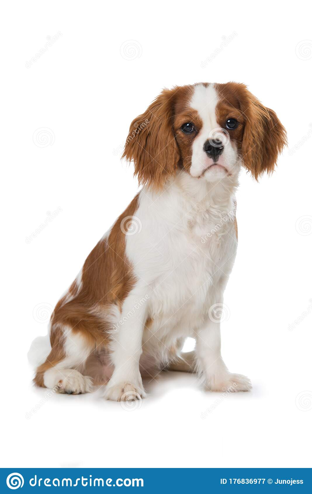 Cavalier King Charles Spaniel Puppy Isolated On White Stock Image Image Of Cheerful Expression 176836977