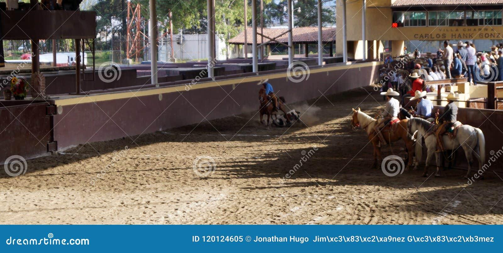 Cavalier mexicain attachant un veau