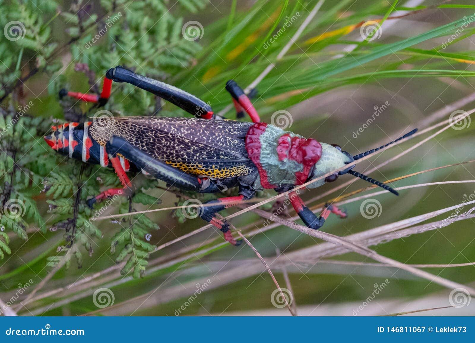 Cavalletta della schiuma di Koppie Cavalletta/locusta Colourful fotografata nel canyon del fiume di Blyde, Sudafrica