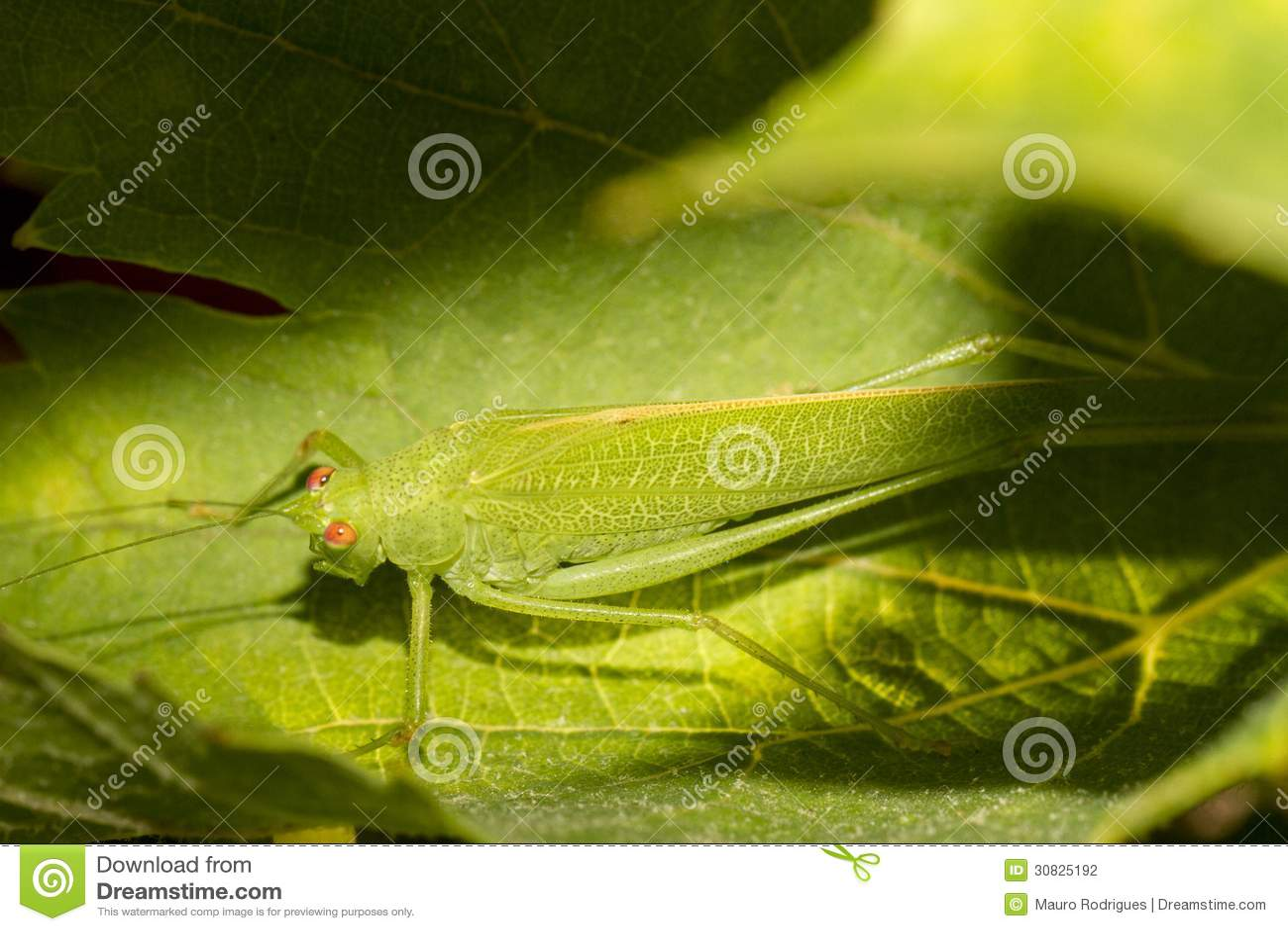 Cavalletta europea (viridissima di Tettigonia)