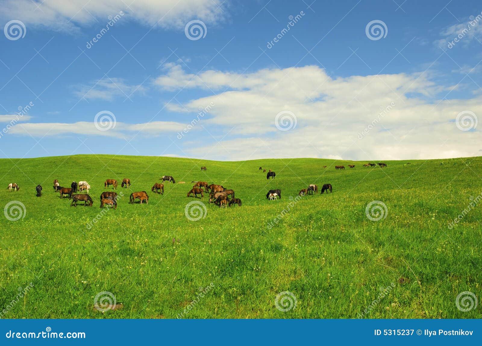 Download Cavalli immagine stock. Immagine di paesaggio, aperto - 5315237
