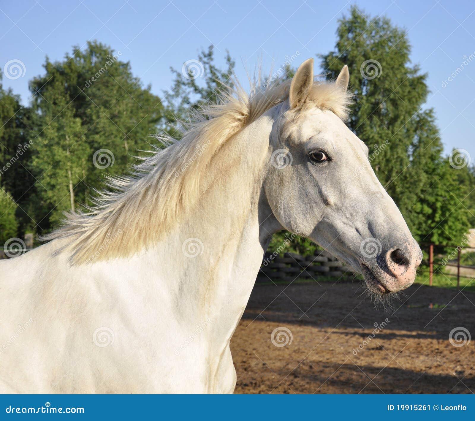 Cavalli bianchi immagine stock immagine di d0 cielo for Immagini cavalli stilizzati