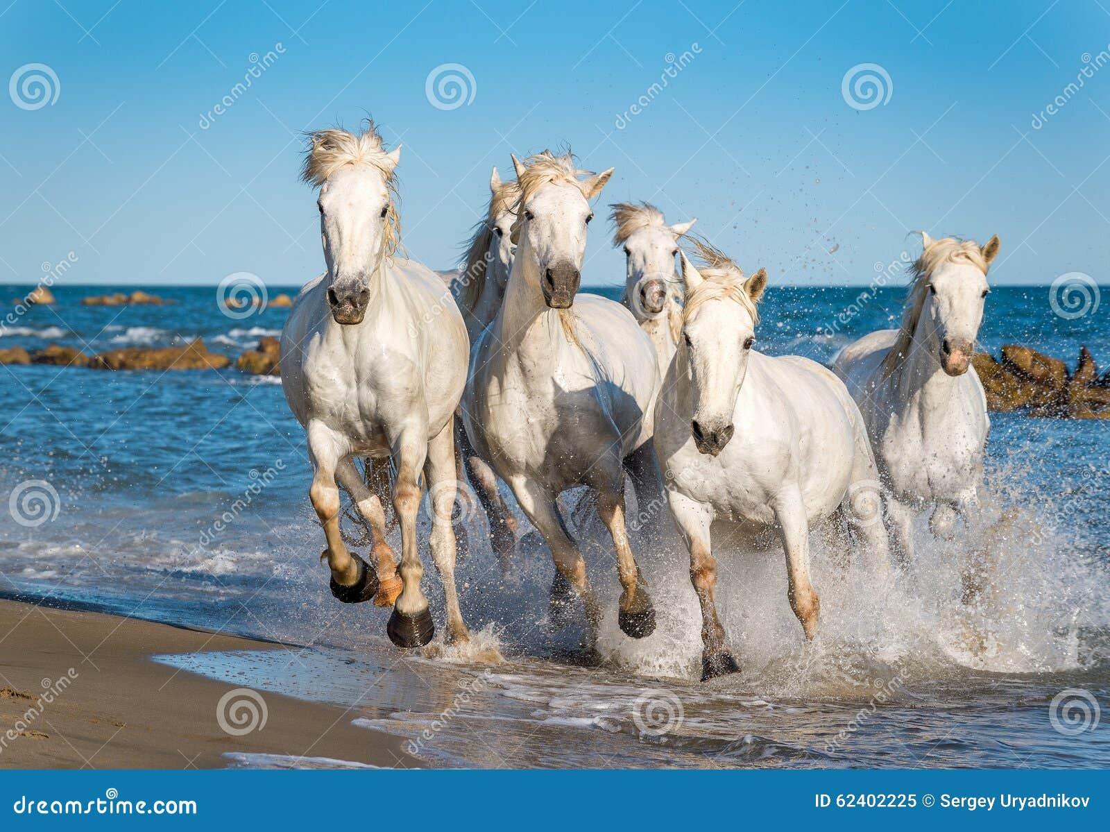 Eccezionale Cavalli Bianchi Di Camargue Che Corrono Sull'acqua Immagine Stock  BF95