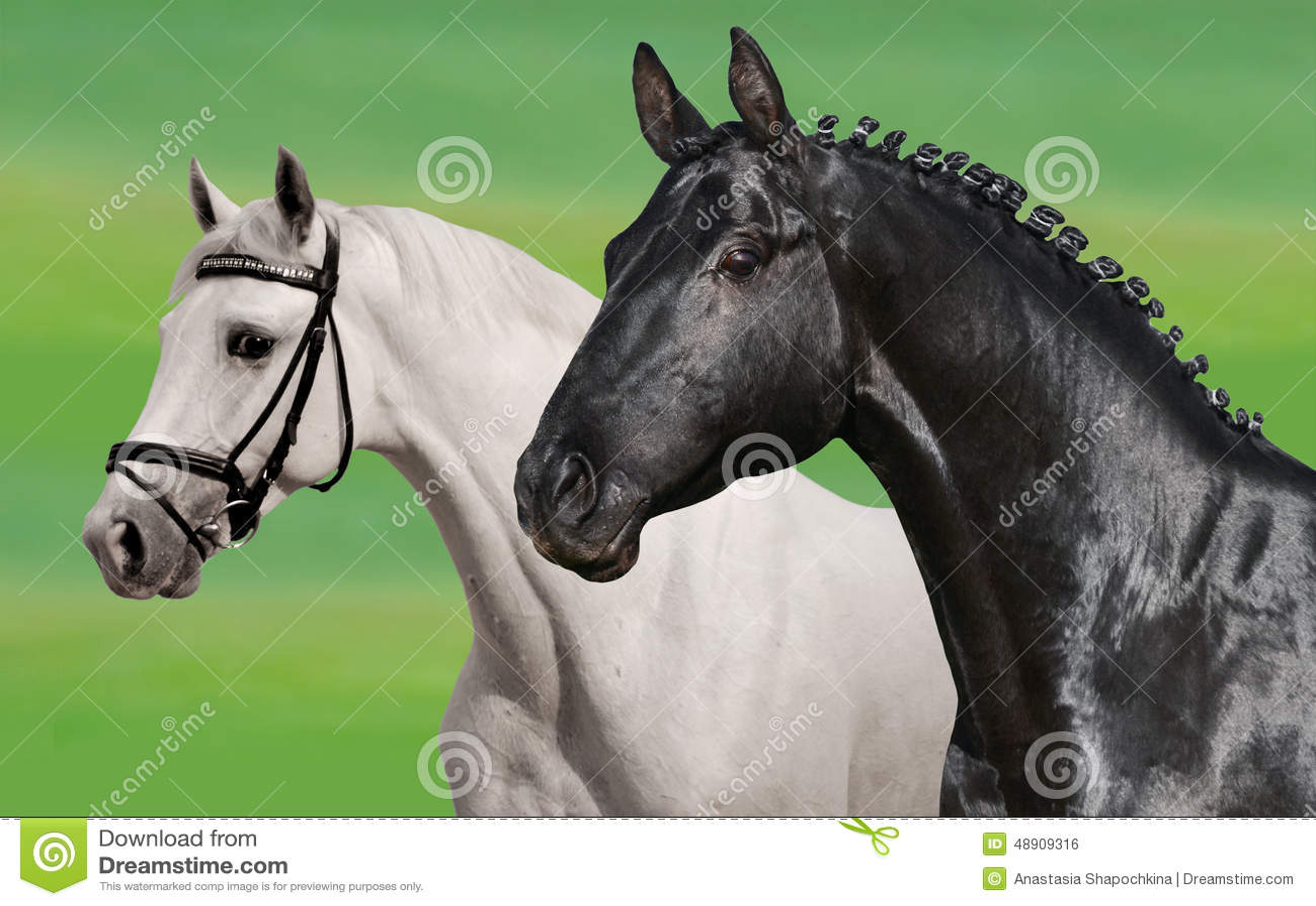 cavalli bianchi e neri fotografia stock  immagine di bello