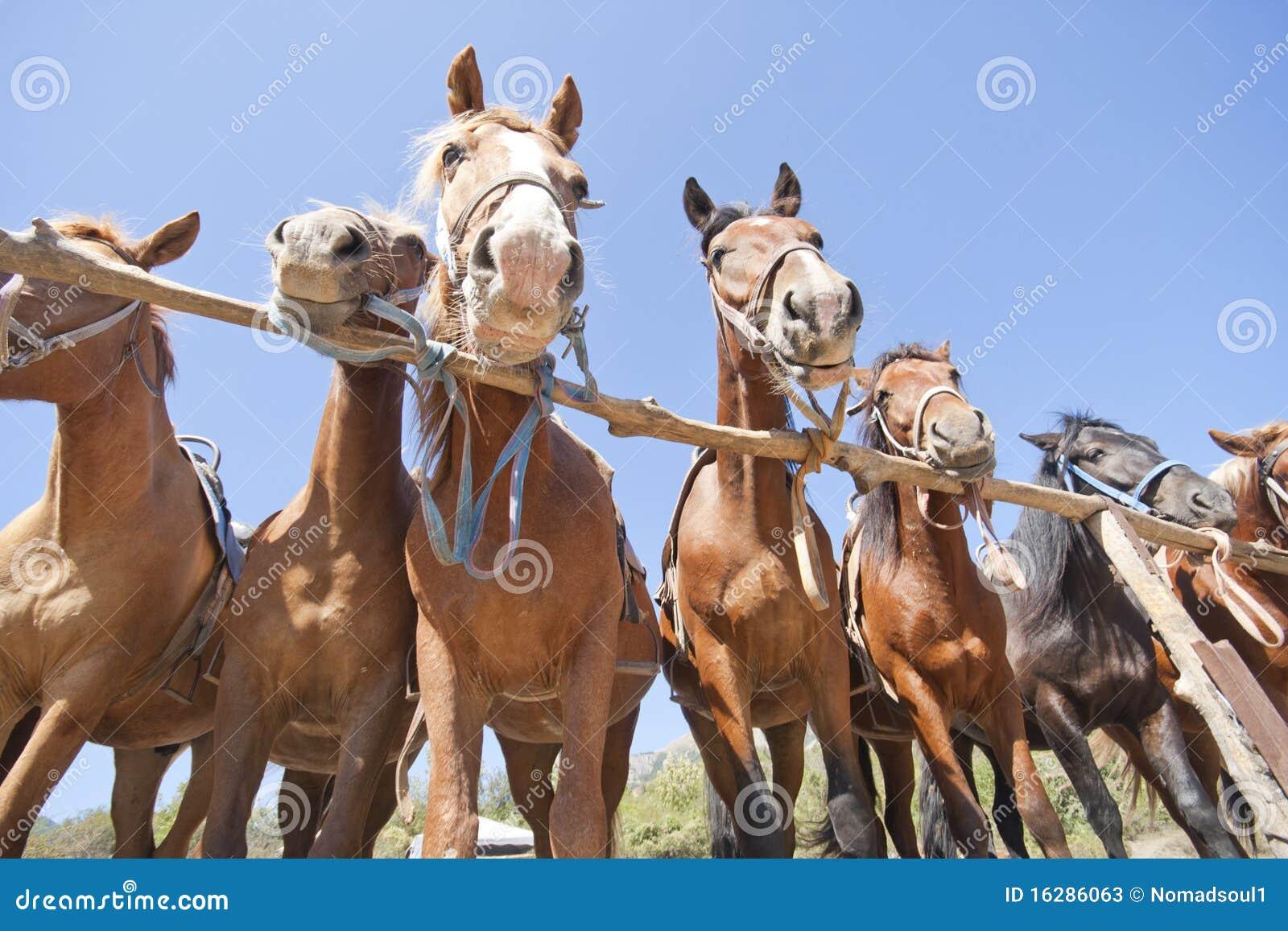 Cavalli del Brown sul ranch