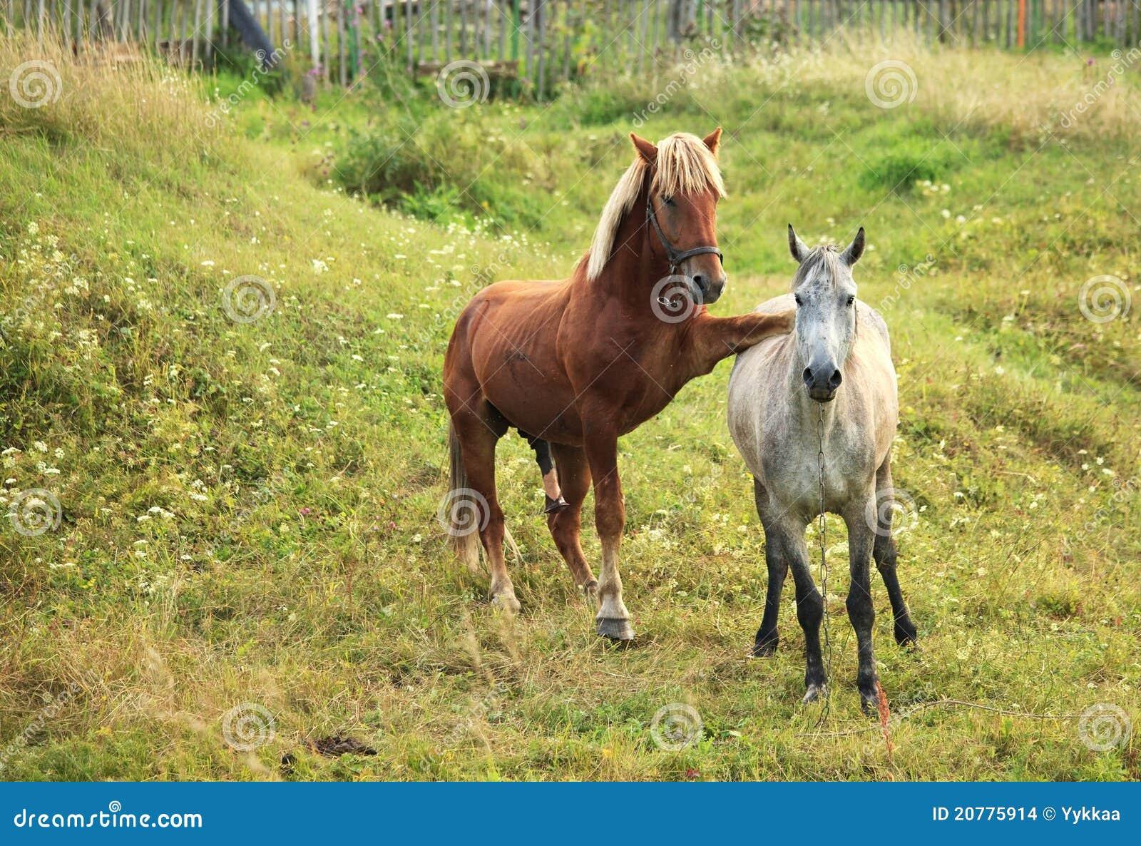cavalli da accompiamento