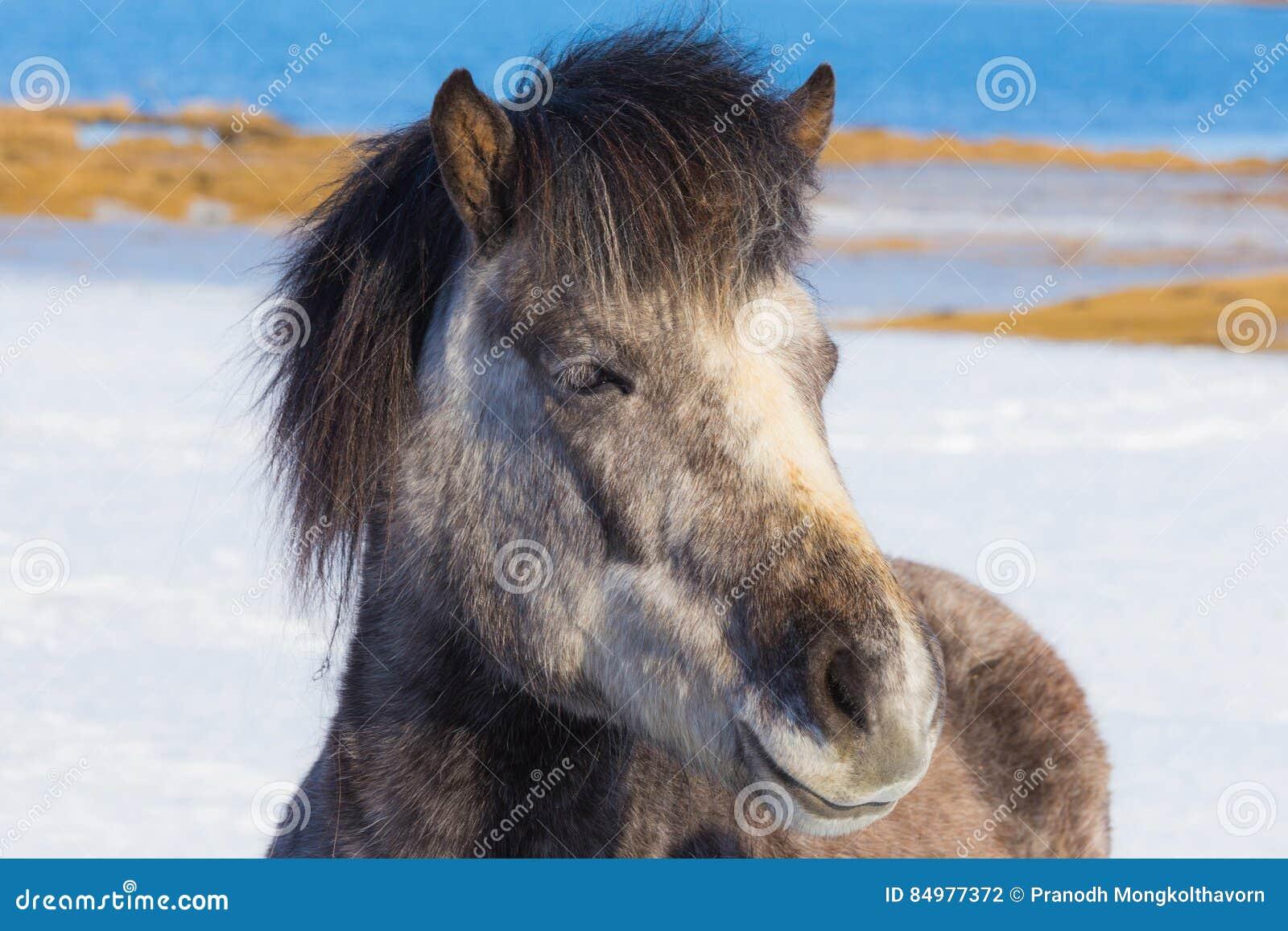 Cavalli islandesi sopra la terra della neve