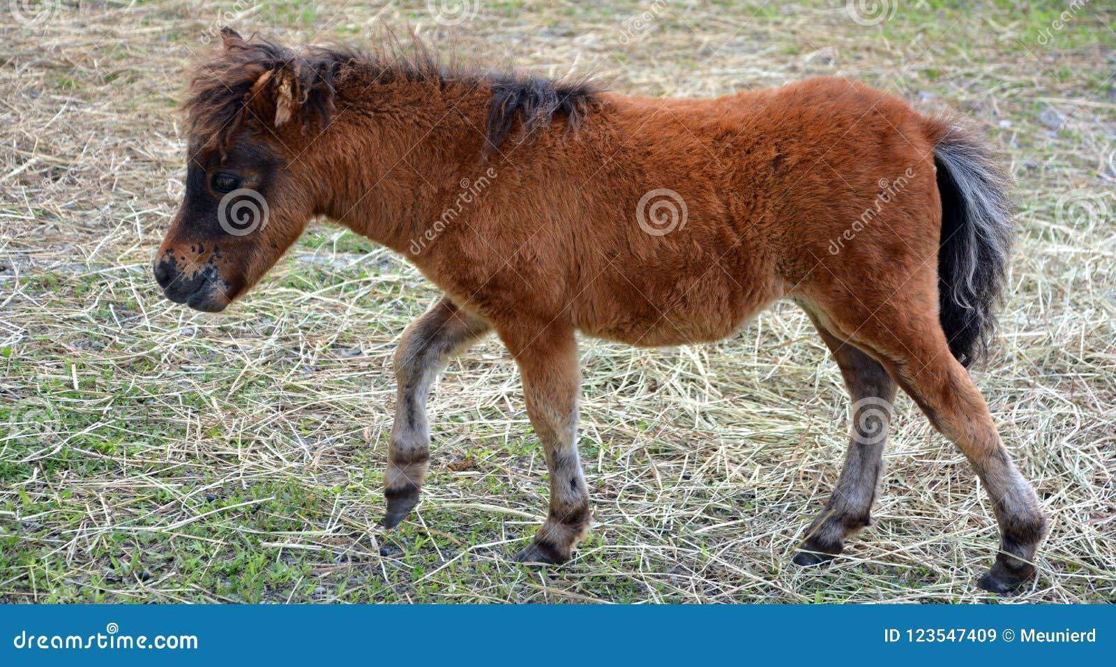 Cavalli miniatura