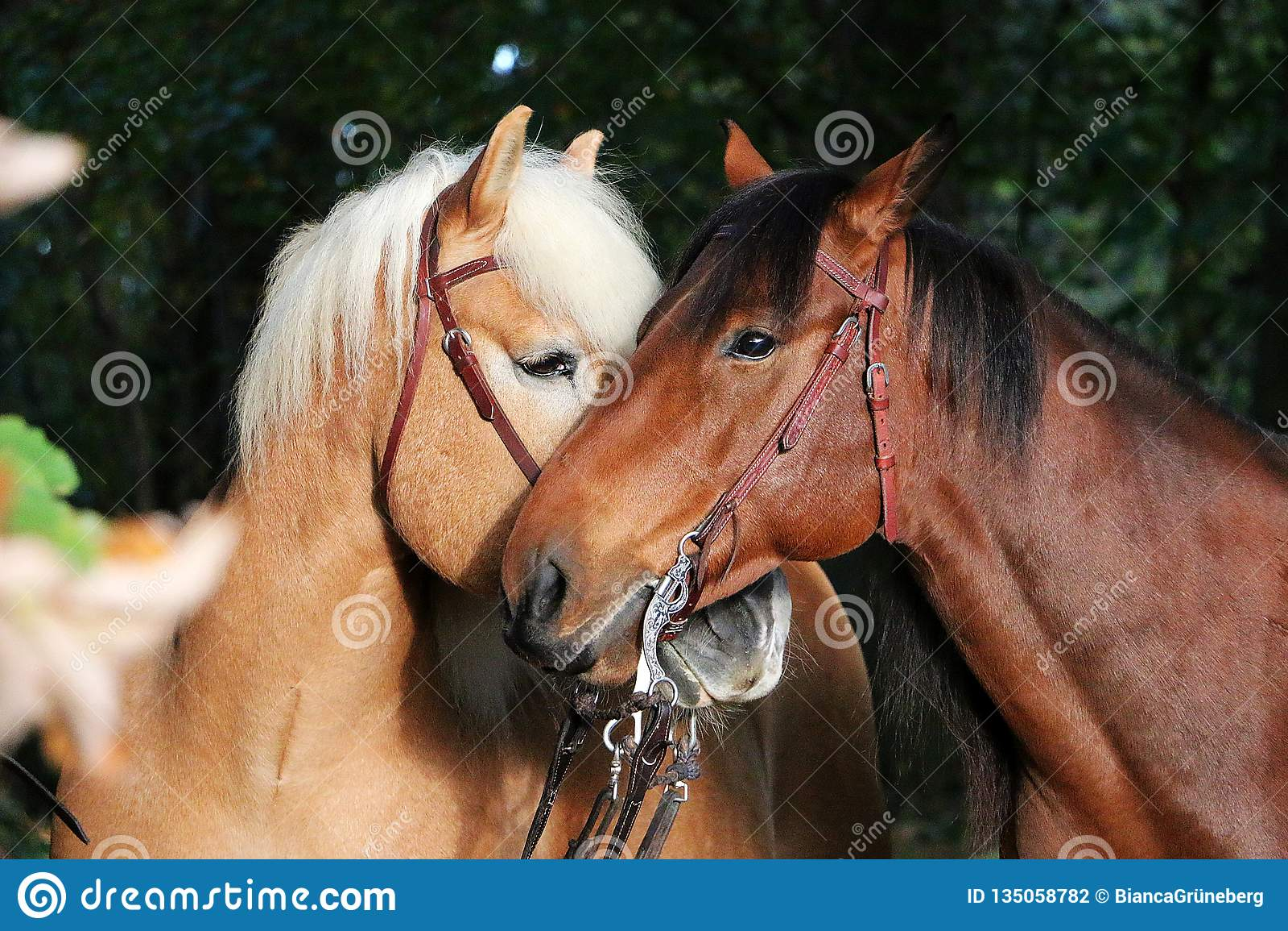 Cavalli stringenti a sé adorabili