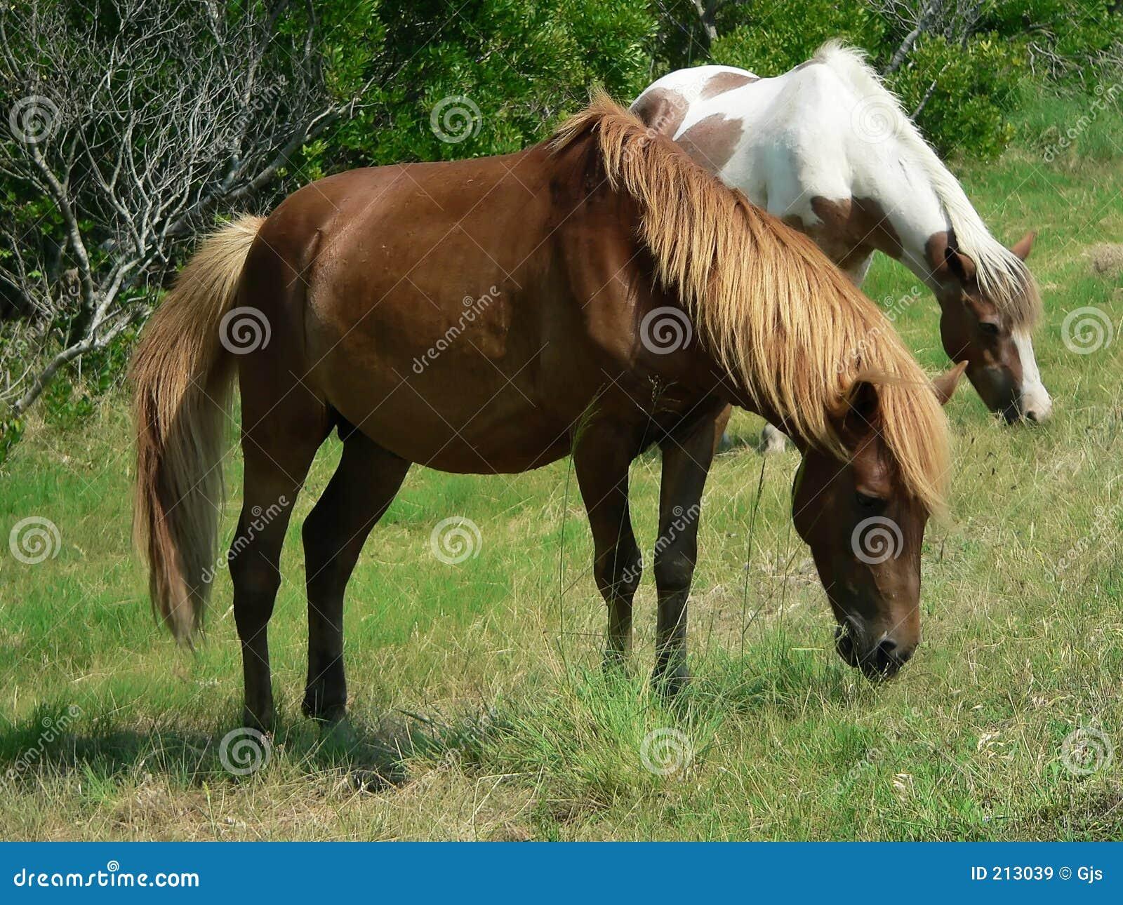 Cavallini che pascono