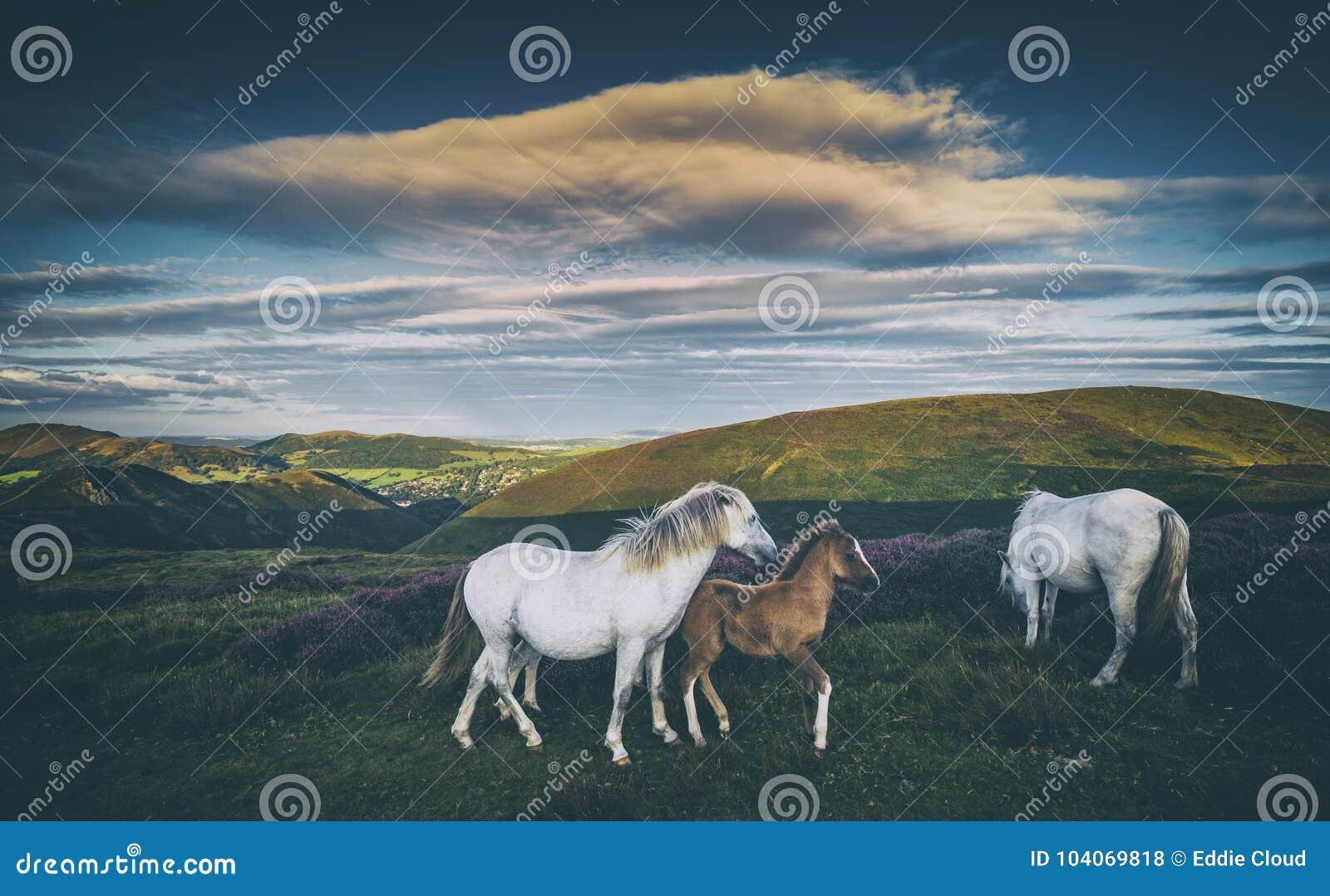 Cavallini selvaggi sul prato della montagna