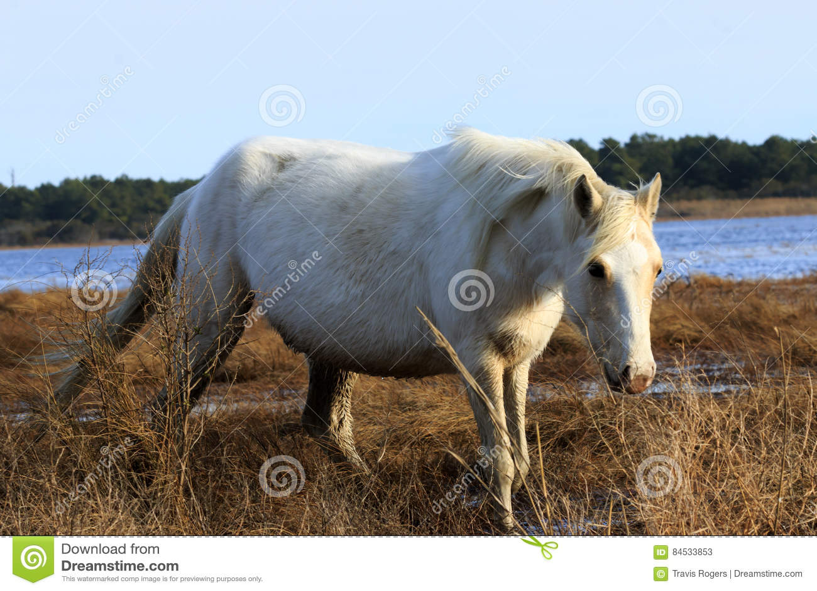 Cavallino selvaggio