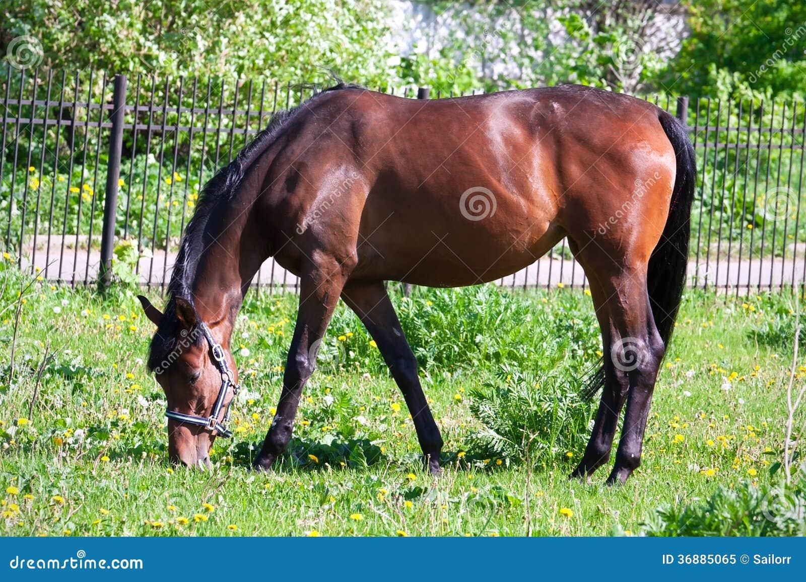 Download Cavallo immagine stock. Immagine di bello, estate, esterno - 36885065