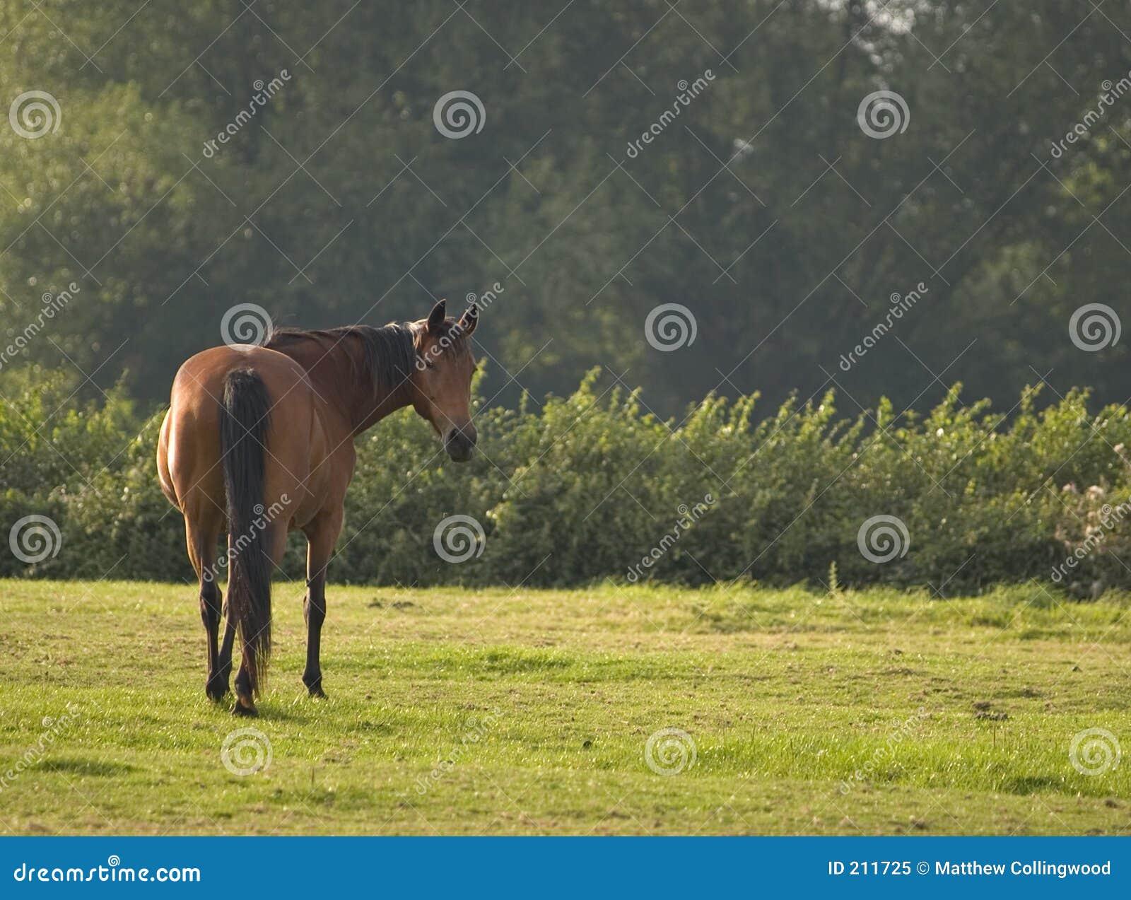 Cavallo adulto